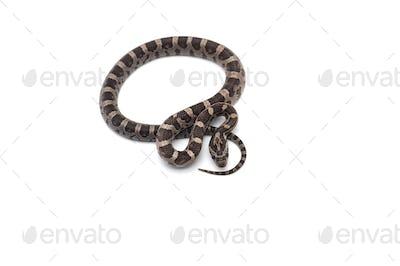 Corn snake isolated on white background