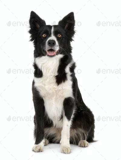 Border Collie ()