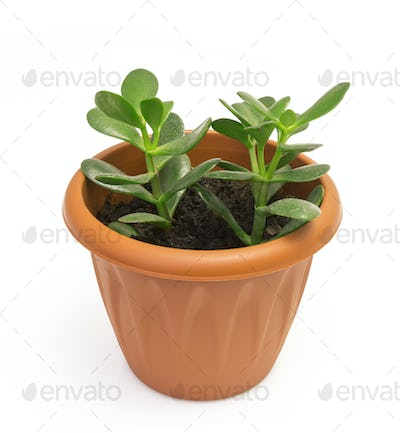 Orange terracotta pot with soil with green plant Isolated on white background.
