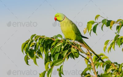 A Male Ringnecked Parakeet