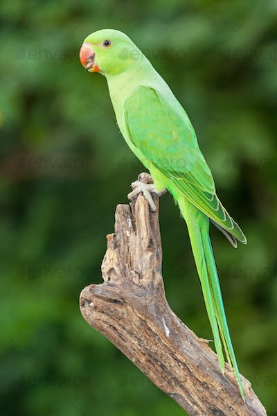 A Female Ringnecked Parakeet