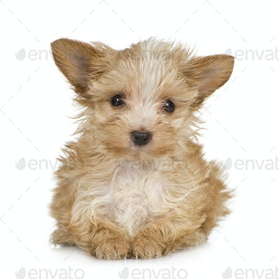 Yorkshire Terrier Puppy (2 months)