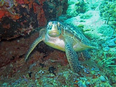Hawksbill sea turtle current on coral reef island, Bali