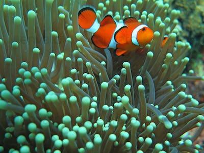 Orange nemo clown fish in the beautiful vivid green anemone