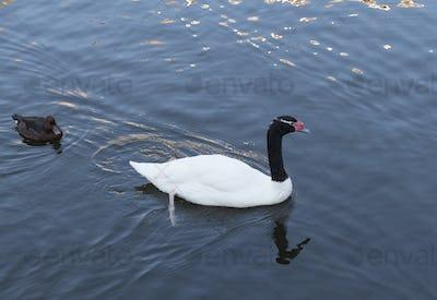 Beautiful white swan with red beak swimming in lake, slow motion