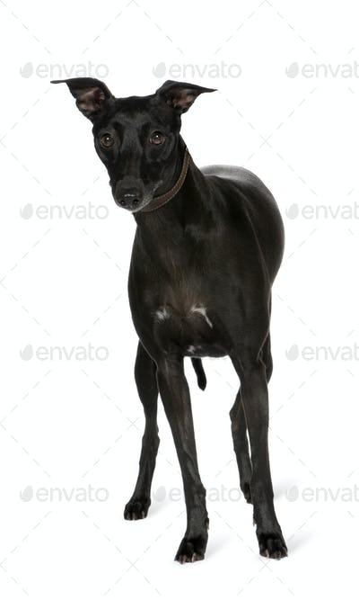 Whippet (2 years)