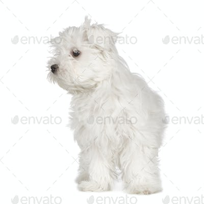 maltese dog (3 months)