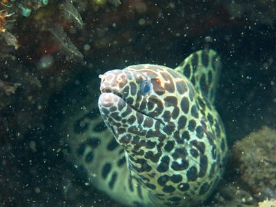 Giant spotted moray hiding  amongst coral reef on the ocean flo