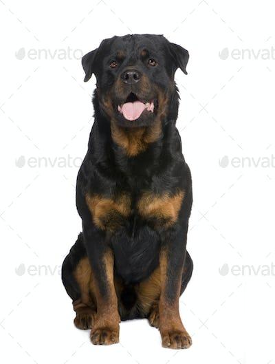 rottweiler (3 years)