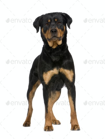 rottweiler (2 years)