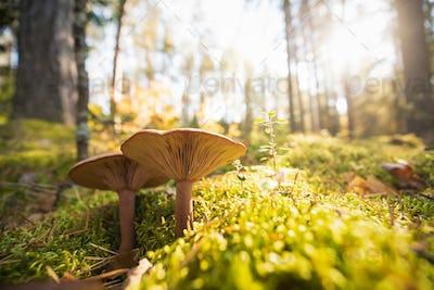 Paxillus Involutus In Autumn Forest In Belarus. Brown Roll-rim,