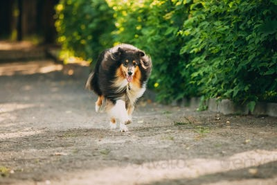 Running On Summer Road Tricolor Scottish Rough Long-Haired Engli