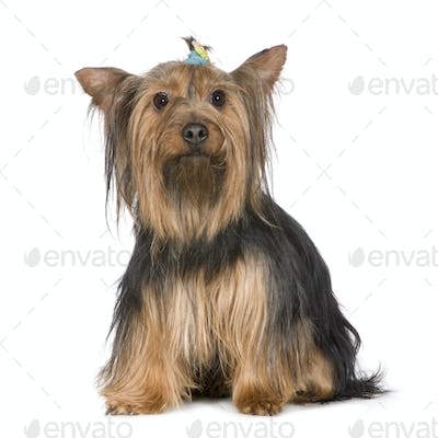 Yorkshire Terrier (9years)