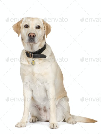 Labrador (4 years)