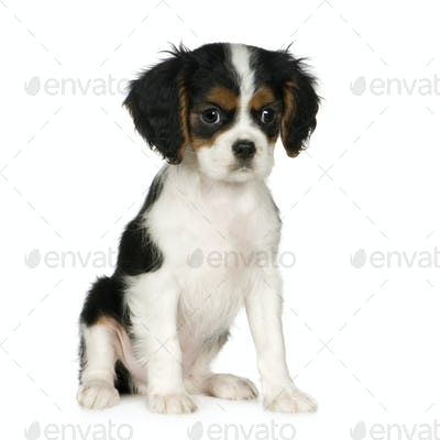 Cavalier King Charles Spaniel (3,5 months)
