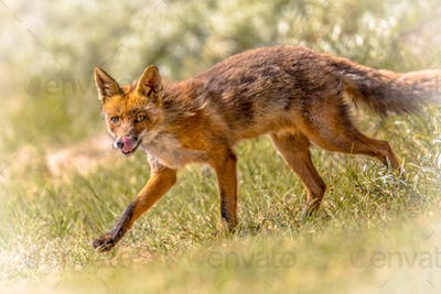 Red Fox walking and licking
