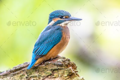 European Kingfisher perched on log