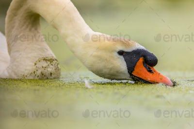 Mute swan eating duckweed