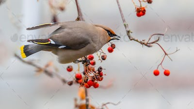 Bohemian waxwing eating berries