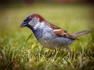 Male house sparrow in grass