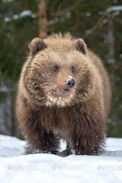 Wild brown bear cub closeup in forest