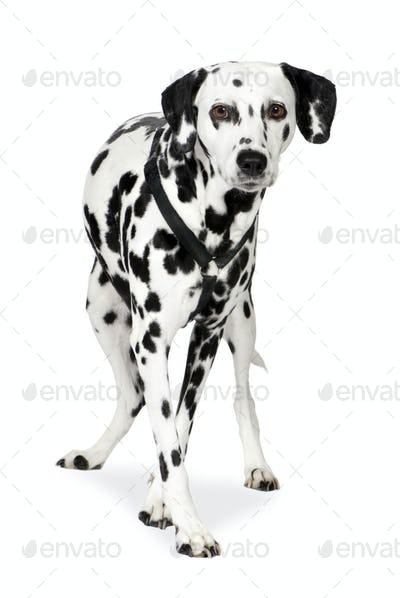 Dalmatian (7 years)