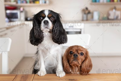 Two dogs behind the kitchen table