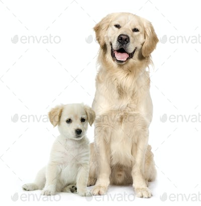 Golden Retriever and a Labrador puppy sitting in front of white background