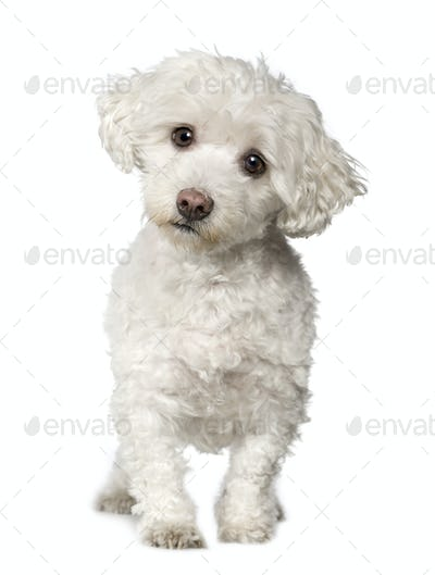 Maltese dog (10 years)