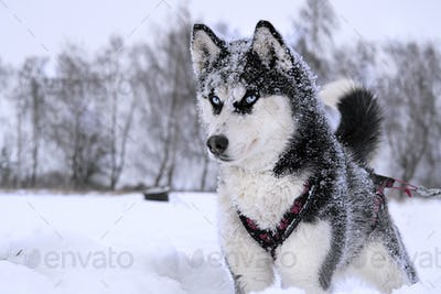 breed husky sled dogs