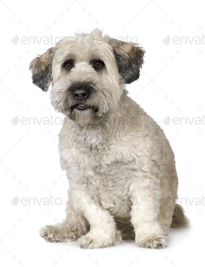 Tibetan Terrier (5 years)