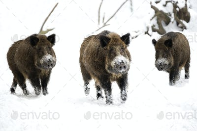 Wild boars in winter