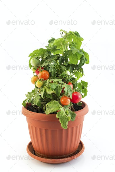 Cherry Tomatoes in a Pot Isolated on White