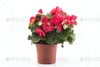 Red Begonia Potted Isolated on White