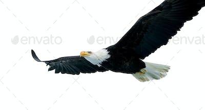 Bald Eagle (22 years)