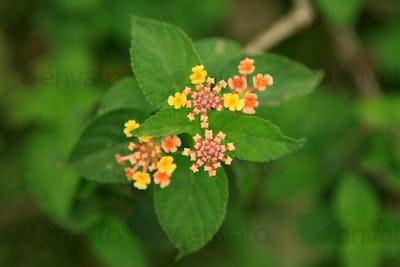 Tropical Flower - Tididiek Rock - Uganda, Africa