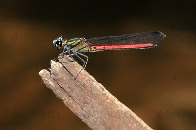 Dragonfy - Bigodi Wetlands - Uganda, Africa