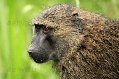 Olive Baboon - Bigodi Wetlands - Uganda, Africa