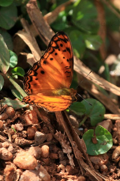 Butterfly - Bigodi Wetlands - Uganda, Africa