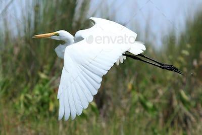 Great White Egret - Lake Opeta - Uganda, Africa