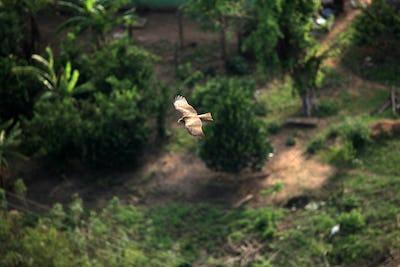 Yellow Billed Kite - Uganda, Africa