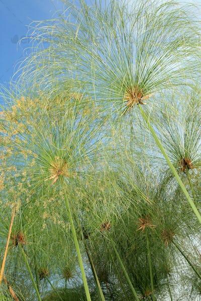 Papyrus - Bigodi Swamps - Uganda