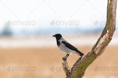 Hooded crow corvus cornix on winter field