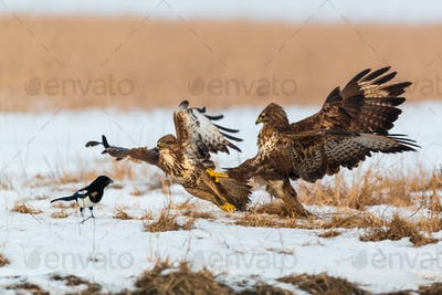 Common buzzards fighting on the snow