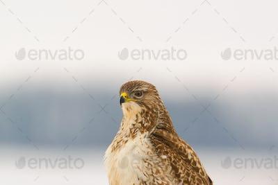 Portrait of common buzzard buteo buteo