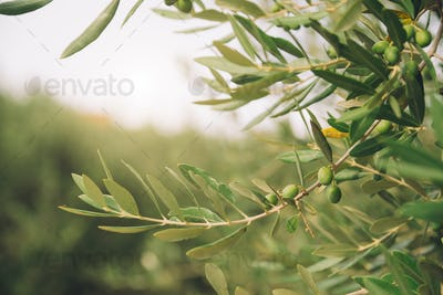 Detail of olive tree