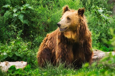 European brown bear