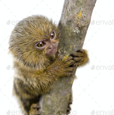 Pygmy Marmoset (5 weeks) - Callithrix (Cebuella) pygmaea
