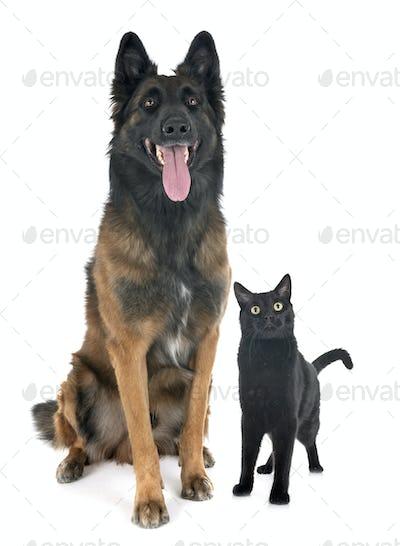 belgian shepherd tervuren and cat