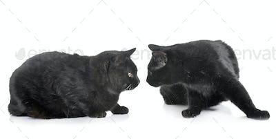 black cats in studio